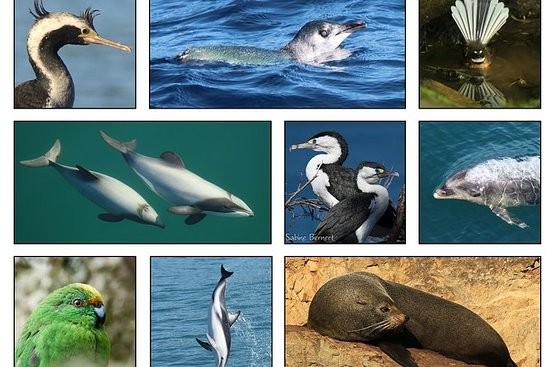 Wildlife Island Sanctuary (Motuara ) and Dolphin Cruise from Picton