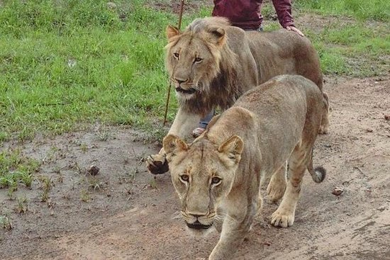 Combo Lion Encounter and Elephant Encounter