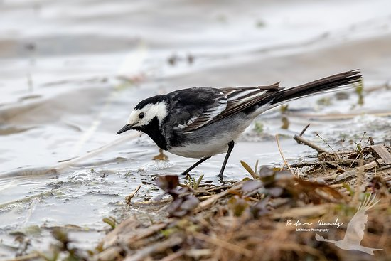 Pied Wagtail taken from the new hide
