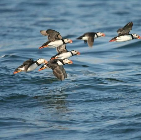 Amble, UK: Puffin fly past