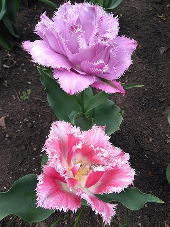 Iasi, رومانيا: Lovely tulips resembling both roses, and peonies - the Botanical Garden of Iasi, Romania.