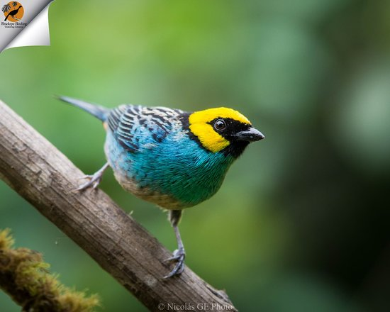 Circasia, Колумбия: Saffron-Crowned Tanager, Come and seek for it with Penelope Birding