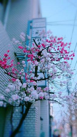 Nakagyo, ญี่ปุ่น: 一树2色花,这株特别的樱花树惊艳了路人。