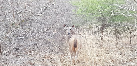 Ranthambore Tiger Reserve: saw lots of deer