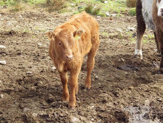 Farm buggy tours: Calves were beautiful