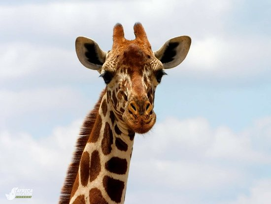 Meru National Park, Kenia: #AnimalFunFacts Even though the Reticulated Giraffes neck is taller than most humans are, it is still made of only 7 bones just like humans