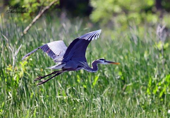 Marbury, MD: Great Blue Heron