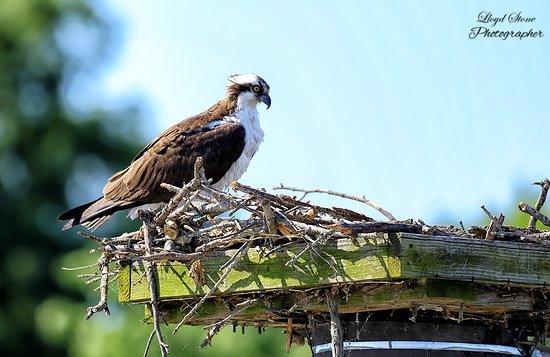 Marbury, MD: Female Osprey watching her 3 eggs