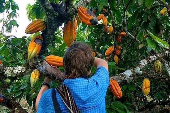 Storia del cacao dell'albero