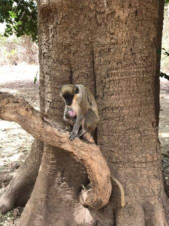 Niokolo-Koba National Park, Senegal: Friendly warthog. Monkey mama. Jacana/lily trotter. Rope bridge. Scenic view.