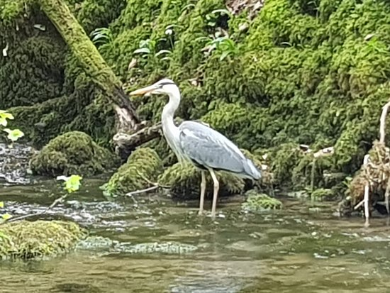 A Heron in the stream along the walk to the Foss.