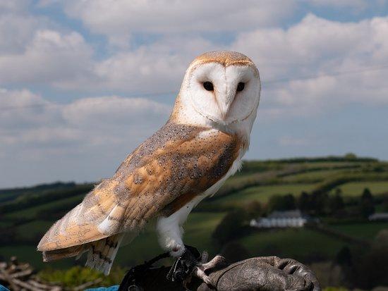 North Devon Hawk Walks : The Barn Owl