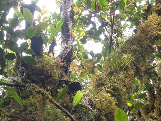 Benguet Province, Filippine: the mossy forest in Mt. Pulag