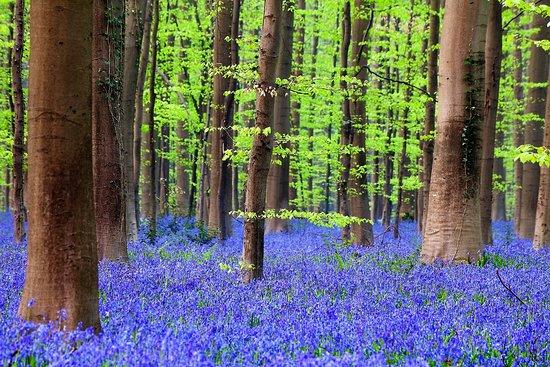Il Bosco Blu di Hallerbos si trova in Belgio, non lontano dalla città di Halle, tra le Fiandre e la Vallonia; in primavera il sottobosco si trasforma in un mare di sfumature blu grazie alla fioritura dei giacinti selvatici che ricoprono letteralmente il terreno.  Il bosco si estende per 552 ettari e, in questa stagione, si trasforma in un luogo magico.