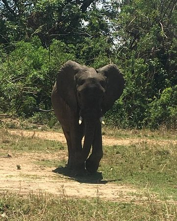 Queen Elizabeth National Park, Uganda: A male getting ready to cross the road as we were coming closure, on a game drive.#Tulikatours