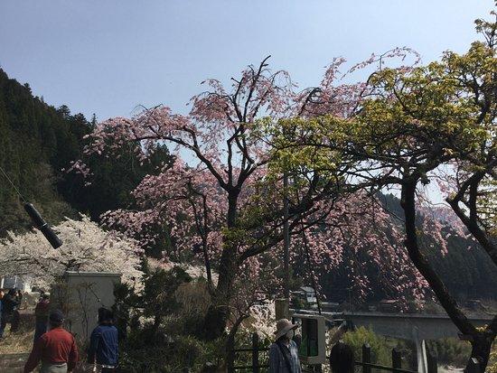 天龍村, 長野県, 寒桜
