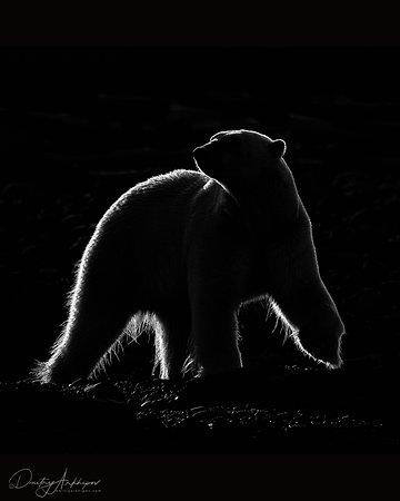 Svalbard, Noruega: Белый медведь в контровом свете, Шпицберген.