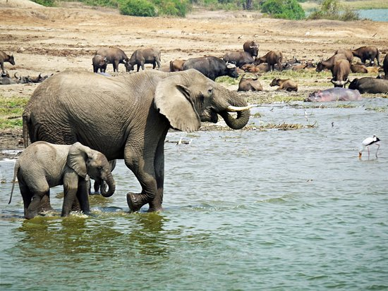 Queen Elizabeth National Park, Uganda: we took this photo during a boat cruise at kazinga channel, it was just a beautiful experience, i wish every teller never misses during his or her tour in Uganda.