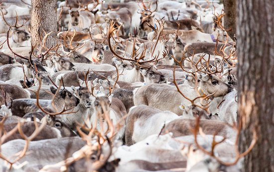 Kuusamo, Suomi: Autumn round-up of reindeer