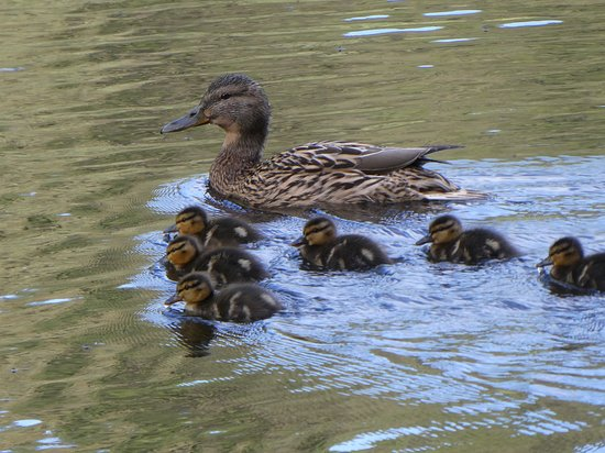 Not many places you get to watch a family of ducklings grow up. Very enjoyable to watch them interacting with each other and their mother. They all have distinct personalities. Also listen to the different calls the mother uses to control them.  Sadly the family of six is now a family of four.