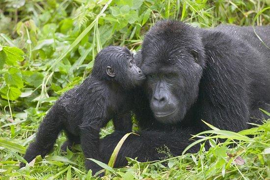 Travelesque Afrik Gorilla Safaris