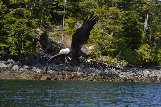 Bald Eagle swooping in for a photo op!