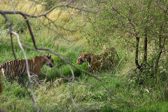 Krishna and Female Cub in Zone 4