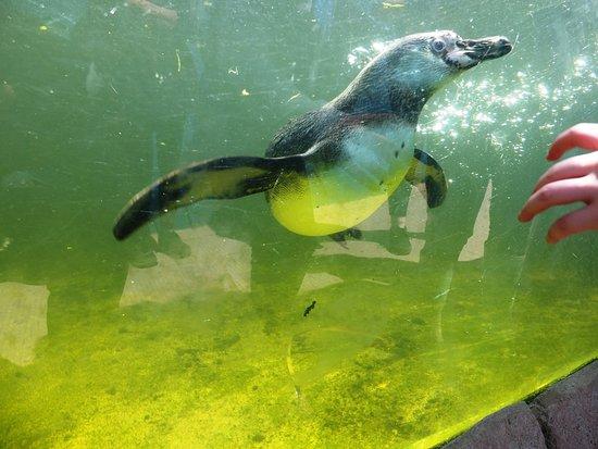 Twycross Zoo: Humbolt penquin, under water
