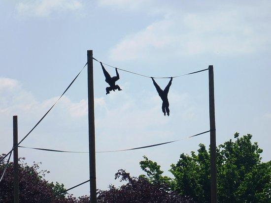 Twycross Zoo: Swinging Siamang