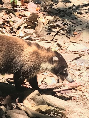 Osa Birders Tours: Coati in Corcovado.