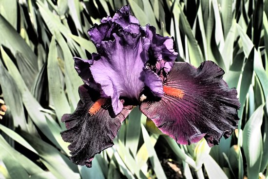 Iris - this is my favourite