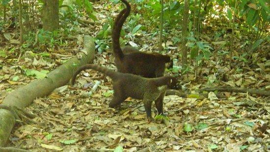 Coati seen on jungle tour