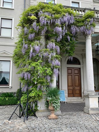 Wisteria was gorgeous and so fragrant.