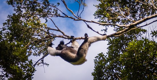 The Indri-Indri lemur in Andasibe