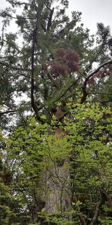 Kakurin-ji Temple: 御本尊降臨杉です