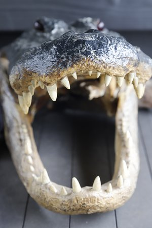 Zam's Bayou Swamp Tours: crâne d'alligator