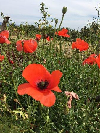 La campagna in fiore, Solarussa.