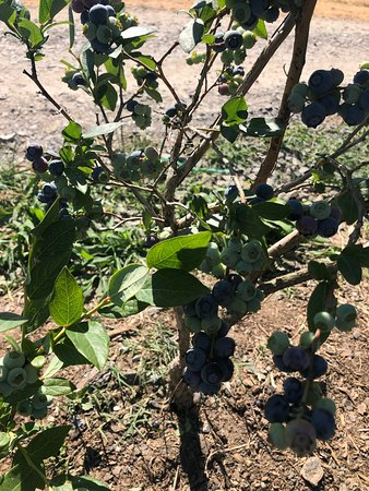 Blueberry picking and hard cider tasting