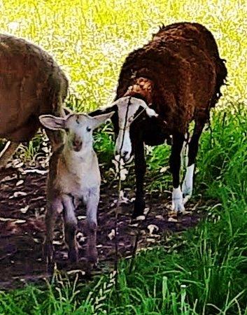 Mary had a little lamb!