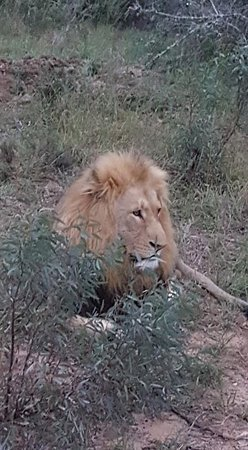 Schotia Safaris Private Game Reserve: Glorious young male lion