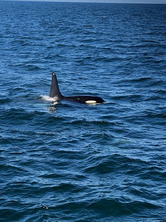 Orca during a Láki Tours whale watching tour leaving from Ólafsvík.