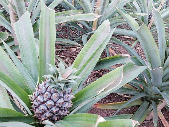 Arruda Pineapple Plantation