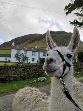 Larry the llama :)