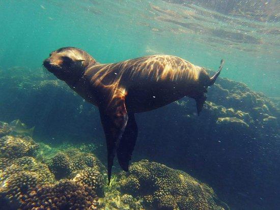 Nado con lobos marinos