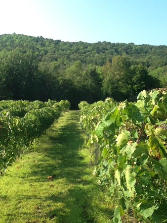 Are vineyard is a lovely place to stroll in the summer.  we currently have 2.5 acres planted but the property is 80 acres.