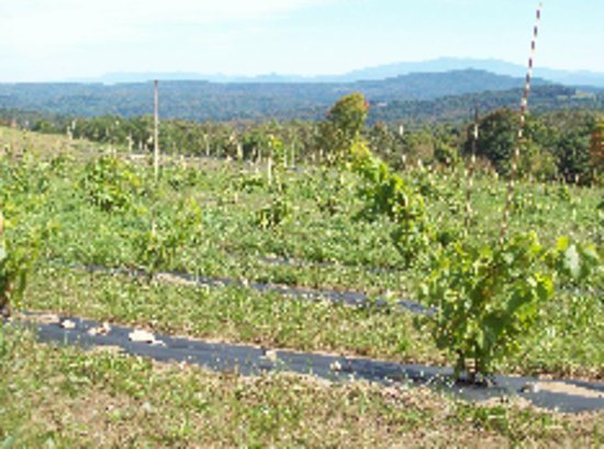 Corinth, Vermont: the vineyard at 1 year old