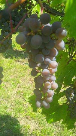 Corinth, Vermont: Frontenac Gris grapes ready to pick