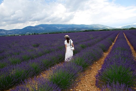 Lavender fields in Provence, private tour