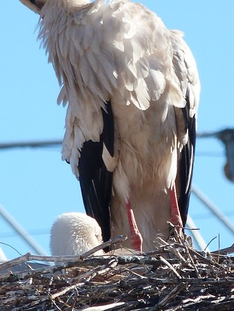 Stork atop a chimney top close by nursing her chick.
