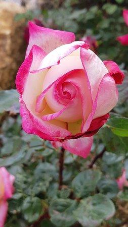 "Le rose di ""Marco"""